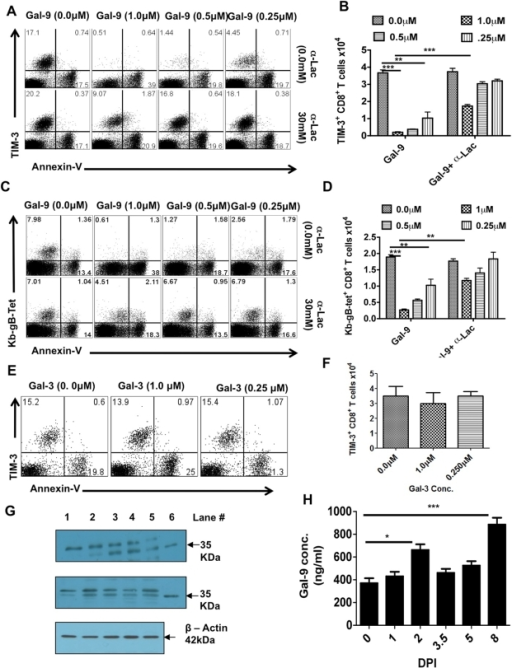 Galectin-9 induces apoptosis of TIM-3 expressing CD8+ T cells in vitro and its expression is up regulated in the lymphoid organs after HSV infection.PLNs single cell suspension isolated 6 dpi from HSV infected animals were incubated for 5 hr with varying concentrations of galectin-9 in the absence or the presence of α-lactose. The experiments were repeated multiple times with similar results. A. Representative FACS plots showing the expression of TIM-3 and annexin-V on gated CD8+ T cells under indicated incubation conditions are shown. B. The bar diagram shows the numbers of TIM-3+CD8+ T cells as calculated from A. C. Representative FACS plots showing the expression of Kb-gB-Tet and annexin-V on gated CD8+ T cells under indicated incubation conditions are shown. D. The bar diagram shows the numbers of TKb-gB-Tet+CD8+ T cells as calculated from C. E. TIM-3 and annexin-V expression on gated CD8+ T cells isolated from PLNs of HSV infected mice at 6 dpi and incubated for 5 hr with different concentrations of galectin-3 is shown. F. The bar diagram shows the numbers of TIM-3+CD8+ T cells as calculated from E. G. Immunoblots showing galectin-9 expression in the homogenates of isolated PLNs (upper panel) and spleens (middle panel) obtained from HSV infected animals at different time points are shown. Expression of β-actin as sample loading control is shown in the bottom panel. (lane # 1, day 0; #2, day 2, #3, day 3.5, #4, day 5, #5, day 8 and #6, recombinant galectin-9). H. Galectin-9 concentrations as measured by sandwich ELISA using anti-Gal-9 mAb (1A2) in the PLN homogenates is shown. The experiments were performed three times and three animals were sacrificed at each time point.