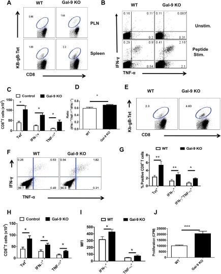 Galectin-9 KO animals develop sustained virus-specific CD8+ T cells memory responses.The lymphoid organs of HSV infected WT and Gal-9 KO animals were analyzed at day 32 or day 60 after infection for early and long-term memory responses using Kb-gB-tetramer and ICCS assays. All but long term memory experiments were repeated at least three times with four animals per group. A. Representative FACS plots showing the frequencies of Kb-gB-Tet+ cells in the spleens of WT and Gal-9 KO animals at 60 dpi. B. Representative FACS plots showing the frequencies of SSIEFARL peptide stimulated IFN-γ and TNF-α producing CD8+ T cells at 60 dpi. C. Bar diagram show the absolute numbers of Kb-gB-Tet+ and IFN-γ producing CD8+ T cells in the spleens of WT and Gal-9 KO animals as depicted by FACS plots in A and B at day 60. D. The bar diagram shows the ratio of SSIEFARL stimulated IFN-γ+TNF-α+ to IFN-γ+ CD8+ T cells isolated from WT and Gal-9 KO mice at 60 dpi. E-J. The animals previously infected with HSV for 32 days were re-infected with the same dose of HSV in footpads and the virus-specific CD8+ T cells responses were quantified in the PLN 2.5 dpi. E. Representative FACS plots show the frequencies of Kb-gB-Tet+ CD8+ T cells in the PLNs of WT (n = 4) and Gal-9 KO (n = 4) animals. F. Representative FACS plots show the frequencies of SSIFERAL-stimulated IFN-γ and TNF-α producing CD8+ T cell in the PLNs of WT (n = 4) and Gal-9 KO (n = 4) animals. G-H. The bar diagram shows the frequencies (G) and numbers (H) of Kb-gB-Tet+ and cytokines producing CD8+ T cells as depicted by FACS plots in E and F. I. MFI of cytokines produced by stimulated CD8+ T cell is shown. J. The peptide-specific proliferative response of PLNs cells isolated from re-infected animals at 2.5dpi is shown.