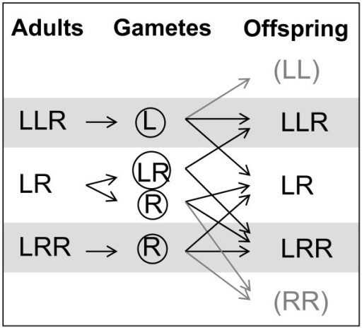 Simplified illustration of gamete production and population maintenance of all-hybrid P. esculentus populations. Note that the frogs mostly produce offspring with genotypes different from their own. LL and RR die before sexual maturity; LRR males (and LLRR frogs) are formed rarely, because LR sperm (as opposed to LR eggs) is rare.
