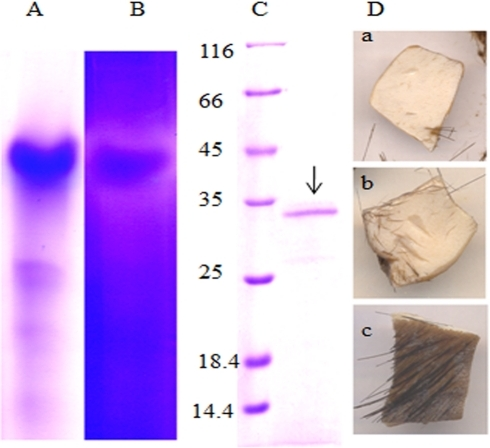 Identification of depilating protease of Pseudomonas aeruginosa MCM B-327.Panel A and B represent native PAGE and the corresponding zymogram of extracellular proteins of Pseudomonas aeruginosa MCM B-327. Panel C. SDS-PAGE showing the molecular mass of the depilating protease electro-eluted from the zymogram. Lane 1 represents protein molecular mass markers. The 33 kDa depilating protease band found in lane 2 is shown with an arrow. Depilating activity shown by crude extracellular protease (a), protease electro-eluted from the zymogram (b) and a control hide kept by adding buffer instead of protease are shown in panel D.