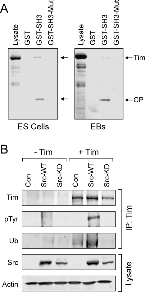 Tim is a c-Src SH3 domain binding protein and substrate.A, Lysates were prepared from ES cells and EBs and incubated with immobilized GST, the Src GST-SH3 fusion protein, or the corresponding inactive GST-SH3 mutant. Following washing, bound proteins were separated by SDS-PAGE, transferred to PVDF membranes and probed with an anti-peptide antibody to Tim. Full-length Tim and a discrete cleavage product (CP) were found to associate with the GST-SH3 fusion protein, but not with GST alone or with the mutant GST-SH3 domain. B, Tim is a substrate for c-Src. Human 293T cells were transfected wild-type c-Src (Src-WT), a kinase-defective mutant (Src-KD), or with the empty expression plasmid (Con) together with V5 epitope-tagged mouse Tim as indicated. Tim was immunoprecipitated from the transfected cell lysates with a V5 antibody and immunoblotted for Tim protein recovery (Tim), tyrosine phosphorylation (pTyr), and ubiquitin (Ub). Tranfected Src protein expression was confirmed in the cell lysates, with actin as a loading control.
