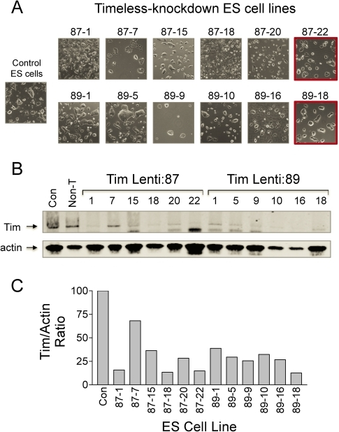 Generation of Tim knockdown ES cell lines.Endogenous Tim expression was suppressed in mES cells by transduction with lentiviral particles carrying shRNA sequences targeting independent regions of the Tim locus (Lenti:87 and Lenti:89). Following puromycin selection, 12 undifferentiated colonies were picked, expanded, and the levels of Tim protein expression determined by quantitative immunoblotting. A, Morphology of representative Tim-knockdown lines isolated from the Lenti:87 and Lenti:89 ES cell populations. Control ES cell colony morphology is also shown for comparison. B, The relative level of full-length Tim in lysates from each of the Tim knockdown lines shown in Part A was determined by quantitative immunoblotting (Tim; arrow). Immunoblots were also probed with an actin antibody as a loading control, and the relative levels of each protein were quantitated using the LI-COR Odyssey system and secondary antibodies conjugated to infrared fluorphores. C, Bargraph showing the Tim:actin protein ratios. Tim knockdown ES cell lines Lenti:87-22 and Lenti:89-18 were used in subsequent experiments based on unchanged ES cell colony morphology (Part A; red outline) and extent of Timeless knockdown.
