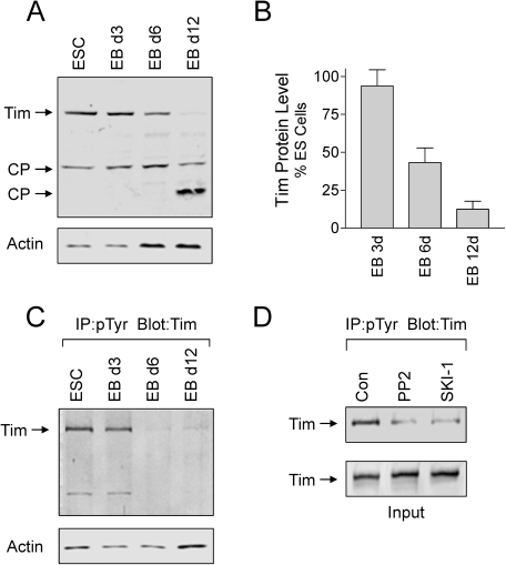 Changes in Tim protein levels and tyrosine phosphorylation during EB formation.A and B, Tim protein levels diminish during EB formation. Lysates were prepared from self-renewing ES cells (ESC) and 3, 6, and 12 day EBs, and immunoblotted for Tim and actin protein levels. Full length Tim as well as two possible cleavage products (CP) are indicated by the arrows. Relative band intensities for full-length Tim and actin were determined using ImageJ from four independent experiments and Tim:actin ratios were calculated. The results were normalized to ratios obtained from control ES cells, and are presented in the bargraph as the mean ± S.E.M. The level of Tim was significantly reduced after 6 and 12 days of EB formation (p≤0.01). C, Tyrosine phosphorylation of endogenous Tim in ES cells and EBs. Lysates were prepared from self-renewing ES cells and 3, 6, and 12 day EBs, and tyrosine-phosphorylated proteins were immunoprecipitated from protein aliquots and analyzed for Tim by immunoblotting (top panel). Actin blots were performed to verify equivalent levels of input protein for the immunoprecipitation (lower panel). This experiments was repeated three times with comparable results; a representative example is shown. D, Inhibition of Tim tyrosine phosphorylation in ES cells by Src-family kinase inhibitors. ES cells were incubated with the Src-family kinase inhibitors PP2 and SKI-1 [12] at 10 µM for 16 h. Tyrosine-phosphorylated proteins were immunoprecipitated and analyzed for the presence of Tim by immunoblotting (top panel). Tim blots (lower panel) verified equivalent levels of Tim in each lysate prior to immunoprecipitation.