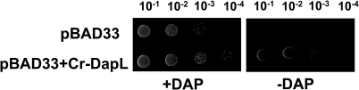 Functional complementation of the E. coli dapD/E                            mutant.Functional complementation was tested using the E. coli                                dapD/E double mutant (AOH1). The plasmids pBAD33 and                                pBAD33+Cr-DapL were selected on LB agar medium                            supplemented with 50 µg mL−1 DAP and 34 µg                                mL−1 chloramphenicol. The bacteria were grown to an                            OD of 0.5 at 600 nm, the strain were serially diluted to                                10−1, 10−2, 10−3                            and 10−4 using 0.85%                            (w/v). The strain harboring the pBAD33 and                                pBAD33+Cr-DapL was replica-plated onto LB                            medium plus 0.2% (w/v) arabinose with or                            without 50 µg mL−1 DAP. The cultures were grown                            at 30 °C for 24 hours.