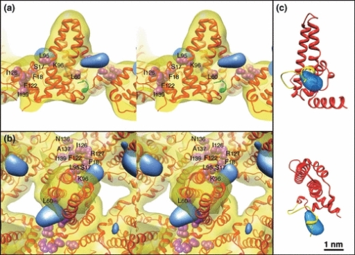 (a) and (b). Stereo images of the HBV/A core protein structure. The red ribbon is the HBV/A core crystal structure, PDB accession 1QGT, and the yellow density is the structure derived from the HBV/A core X-ray crystallography data displayed at 14 Å resolution, to match resolution of the difference map shown in blue. The additional mass found on HBV/G (blue density) was determined by subtracting the HBV/A structure from the HBV/G structure. (a) The mass from the extra 12 amino acids on the N-terminal end of HBV/G is near to the N-terminal end of the HBV/A core (the portion of the ribbon coloured green). (b) Top view looking down one of the spike 2-fold axes. Locations of the amino acids critical for the encapsidation of the mature HBV particle, and that interact with the cytoplasmic domains of the HBsAg, are shown as purple spheres. The extra mass from the 12 amino acid insert may stearically interfere with access to some of these residues (notably S17, F18, L60, L95). (c) Side and top views of HBV/G core protein model (red ribbon) with the12 residue N-terminal insertion (yellow ribbon) modelled into the difference map density (transparent blue). Only one copy of the core molecule within the dimer is shown for clarity.