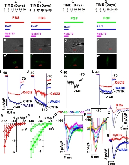 Effects of differentiation media on the expression of voltage-gated currents by rod-like cells derive from RNS.(A–D) Red, green and magenta bars: time of exposure to fetal bovine serum (FBS), basic fibroblast growth factor (FGF) and sodium butyrate (NaB) and T3, respectively. Blue bars: exposure time to retinoic acid (RA) and taurine (T) for 7 (A and C) and 30 days (B and D). Time 0: beginning of treatment and corresponds to the 5th day in culture (D5). (e–h′) B/W and fluorescent images of cells cultured as shown in A (e, e′), B (f, f′), C (g, g′) and D (h, h′). (I–L) Normalized hyperpolarization-activated currents before (black – CNTR), during (red – CdCl2) and after washing out 2 mM CdCl2 (blue – WASH) by cells shown in e (I), f (J), g (K), h (L). Calibration bars in I also hold for panels J–L. (M–N) Net current densities recorded in either FBS (M, red diamonds) or FGF (N, green diamonds) with NaB/T3 plus RA/T either for 7 (red open diamonds, N = 5; green open diamonds, N = 7) or 30 (red filled diamonds, N = 4; green filled diamonds, N = 10) days. (O) Depolarization-activated fast inward currents in a D30 cells cultured in the presence of FGF and 1week treatment with RA/T/NaB/T3 (panel C). Black trace: time course of voltage steps. Color-coded numbers: voltages match noisy records. (P) Inward currents evoked by a 20 ms-long step from −140 to −20 mV were rapidly inactivated. The pre-pulse voltages are plotted by the black line above the records. (Q) Inward currents in a cell cultured as in panel A, before (black trace), during (red trace – 0 Ca) and after exposure to saline with 0-added Ca2+ (blue trace). (R) Inward currents of a cell cultured as in A before (black trace), during (red trace – CdCl2) and after exposure to 2 mM CdCl2 (blue trace - WASH).