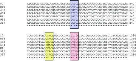 Alignment of rpoB gene sequences showing the mutations detected in this case study. WT, wildtype; T7, 018, 604 – V176F (G to T, highlighted in blue); 483, H526R (A to G, highlighted in yellow); 915, 317, S531W (C to G, highlighted in pink).