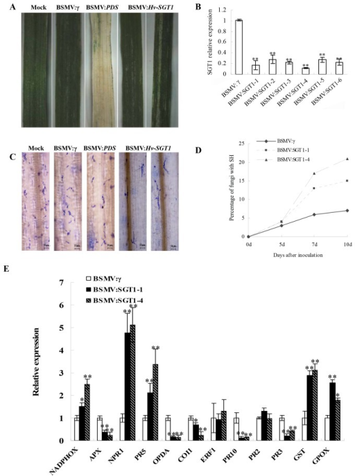 Functional analysis of the Hv-SGT1 gene by BSMV-induced gene silencing.(A) Following infection of H. villosa with the virus, chlorotic mosaic symptoms were observed on the 4th leaves 10 days after inoculation (dpi) with BSMV:γ or BSMV:Hv-SGT1. Photobleaching was observed on leaves infected with BSMV:PDS 15 dpi, whereas no detectable phenotype was observed in the mock-treated plants inoculated with 1×GKP buffer. Representative photographs were taken 15 days after virus inoculation. (B) The Hv-SGT1 gene was efficiently silenced in the BSMV: Hv-SGT1 inoculated leaves compared to the control inoculated with BSMV:γ, as indicated using qRT-PCR analysis. (C) More infected Bgt could developed into secondary hyphae in the BSMV: Hv-SGT1 inoculated leaves compared to the BSMV:γ infected leaves 10 days after inoculation with Bgt. (D) The rate of formation of secondary hyphae (SH) was higher in the Hv-SGT1 silenced leaves inoculated with BSMV:Hv-SGT1 compared with that in BSMV:γ-infected leaves at 5, 7, and 10 days after inoculation with Bgt. (E) Levels of NADPHOX, APX, NPR1, PR5, OPDA, COI1, ERF1, PR10, PR2, PR3, GSTand GPOXin Hv-SGT1 silenced leaves. * p < 0.05, ** p < 0.01 compared to the BSMV:γ-infected leaves.