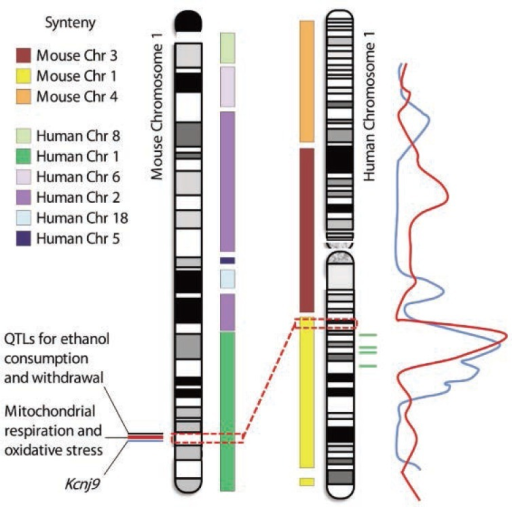 Potential synteny between mouse chromosome 1 and human chromosome 1 quantitative trait loci (QTLs). Human chromosome 1 shares primary conserved regions with mouse chromosomes 1, 3, and 4. Conversely, mouse chromosome 1 shares regions syntenic with human chromosomes 1, 2, 5, 6, 8, and 18. For both mouse and human chromosomes, additional smaller syntenic regions exist (not shown). Mouse chromosome 1 carries significant QTLs for physiological dependence and associated withdrawal following chronic and acute ethanol exposure, two of which have been finely mapped to small DNA intervals of 0.44 and 1.7 Mb (see blue and red lines next to mouse chromosome 1). High-quality quantitative trait gene (QTG) candidates have been identified within these two intervals, including Kcnj9 and genes involved in mitochondrial respiration and/or oxidative stress. (Denmark and Buck 2009; Kozell et al. 2009). Another QTL for ethanol consumption and withdrawal has also been detected nearby (see black line) but has not yet been finely mapped. The dashed red boxes and line denote the two finely mapped mouse QTL intervals and the syntenic region of human chromosome 1 (1q23.2–1q23.3). Two human QTL studies have determined peak log of the odds of linkage (LOD) scores for alcoholism (red line; Hill et al. 2004) and for age of onset of drinking, harm avoidance, novelty seeking, and alcohol dependence (blue line; Dick et al. 2002) in this human chromosome 1 region. Four genetic markers (rs1229430, rs2001270, rs3753563, and rs84465) that are associated (P < 0.0001) with heaviness of drinking, alcohol use disorder, and/or alcohol dependence (Heath et al. 2011) are located in that same region (green lines). Thus, one or more human QTLs may be narrowed to a small syntenic interval of human chromosome 1 that harbors the homologs of high-quality QTG candidates identified in mice.