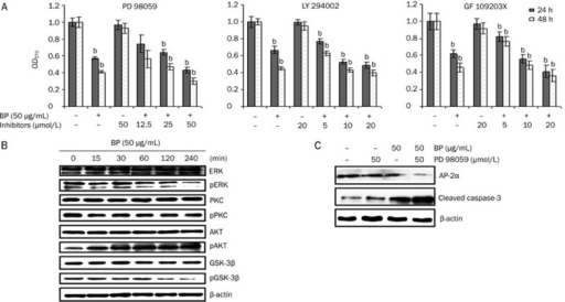 Inhibition of ERK expression and enhanced growth inhibition by MEK inhibitor PD98059. A, MTT assay of A549 cells with culture or serum-containing medium pretreated with the MEK1/2 inhibitor PD98059 (12.5, 25, and 50 μmol/L), the PKC inhibitor GF109203X (5, 10, and 20 μmol/L), or the PI3K/AKT inhibitor LY294002 (5, 10, and 20 μmol/L) for 1 h and then treated with 50 μg/mL BP for 24 and 48 h. Lane 1 shows A549 cells treated with serum containing media and no test compound as a negative control. The data represent the means±SD of three different experiments. bP<0.05, cP<0.01 vs the vehicle. B, Western blot analysis of ERK, phosphor-ERK (pERK), PKC, phosphor-PKC (pPKC), AKT, phosphor-AKT (pAKT), GSK-3β, and phosphor-GSK-3β (pGSK-3β) in A549 cells after treatment with 50 μg/mL BP for the indicated times. The expression of β-actin was used as an internal control. (C) Inhibition of AP-2 and enhancement of cleaved caspase-3 expression by MEK inhibitor in the BP-induced growth inhibition. A549 cells were in incubated in the presence or absence of the MEK inhibitor PD98059 for 1 h and then treated with BP for 12 h. Western blot analysis was performed for AP-2α, cleaved caspase-3, and expression of β-actin was used as an internal control.