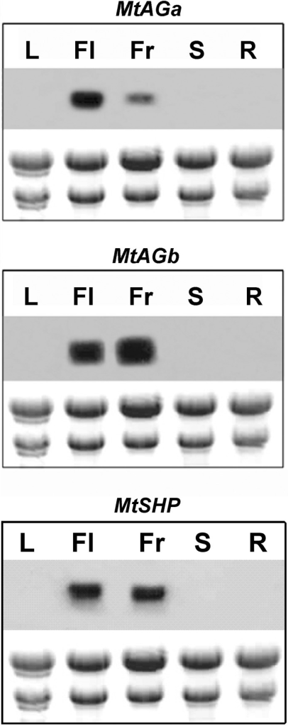 Expression patterns of MtAGa, MtAGb and MtSHP genes in various plant tissues of M. truncatula.Northern blot analyses were performed using total RNA prepared from leaves (L), flowers (Fl), young fruits (Fr), stems (S) and roots (R).