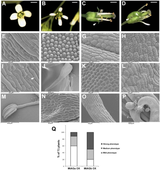 Overexpression of MtAGa and MtAGb in Arabidopsis thaliana: floral phenotypes.Wild-type Arabidopsis flower (A). Floral phenotypes observed in Arabidopsis plants overexpressing MtAGa or MtAGb genes have been classified into mild (B), medium (C) and strong (D). Scanning electron micrographs showing the characteristic cellular types of wild-type sepals (E), petals (F), stamens (G) and carpels (H). Scanning electron micrographs of sepals from overexpression lines with mild phenotype (I) showing wax accumulation (arrow). Narrow petals from overexpressing lines (J) showing staminoid cellular types (K). Wax accumulation in sepals (L) of plants with medium and strong phenotypes. Near complete homeotic conversion of petal into stamen (M) showing characteristic cellular types from anther (N) and filament (O). Flower with strong phenotype showing ectopic ovules and stigmatic tissue (P) in the first whorl. Relative proportion of phenotypes observed in plants overexpressing MtAGa or MtAGb genes (Q). Bars indicate: 1mm in A, B, C, and D.