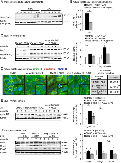 Functional contribution of low-level caspase-3 to the acantholytic process in vitro and in vivo.(A-C and E-F) Representative immunoblots and graphs for indicated proteins of A-B, culture medium of mouse keratinocytes treated with A, 20 or 80 μg/ml AK23/mIgG for the indicated time (shown are 20 μg/ml, n = 3) and B, 20 μg/ml AK23 with or without caspase-3 inhibitor for 24 hours (n = 3/group in triplicate); the mean±SEM of quantified and normalized signals for shed Dsg3 is reported as relative change compared to DMSO/AK23 set as 1, *p<0.05; (C and E-F) Triton X-100-soluble protein fractions from skin of AK23/mIgG-injected 8-week-old mice with or without caspase-3 inhibitor III treatment for the indicated time (n/group, as indicated); signals were quantified, normalized to tubulin and the mean±SEM is plotted relative to DMSO/mIgG set as 1, *p<0.05. (D) Percentage±SEM and representative immunofluorescence micrographs of mouse keratinocytes with keratin retraction and cell detachment after treatment for 48h with 80 μg/ml AK23/mIgG with or without pan-caspase and caspase-3 inhibitor III, (n = 3, 1'000 cells/group evaluated). Insets are 1.5 fold magnification of selected areas; arrow points to keratin retraction; nuclei were counterstained with Hoechst 33258; bar = 10 μm.