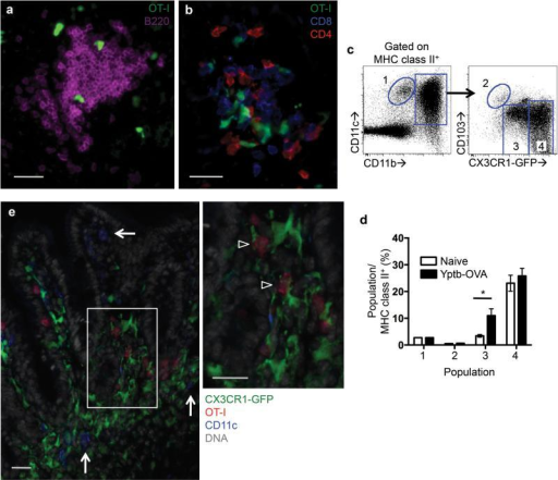Yptb-OVA induced clusters contain T cells and CX3CR1+ macrophages and/or DCs but not B cells. OT-I cells were transferred into C57BL/6 (a,b) or Cx3cr1gfp/+ (CX3CR1-GFP) (e) mice and one day later mice were orally infected with Yptb-OVA. On day 9 post infection, the distribution of OT-I cells and other immune cells in the ileum was analyzed by immunohistochemistry. OT-I (green) localization near (a) B220+ cells (purple) and (b) CD4 and CD8 T cells (red and blue, respectively). Scale bars equal 25 μm. Representative data from 3-5 mice (a,b). (c,d) CX3CR1-GFP mice were infected with Yptb-OVA and on day 7 post infection LP cells were isolated and compared to naive controls. (c) Flow cytometry analysis of populations by expression of MHC class II, CD11c, CD11b, CD103, and CX3CR1-GFP. (d) Cell populations are graphed as a percent of total MHC class II+ LP cells; data are means and SDs pooled from 2 experiments with 4-7 mice/group. *p<0.05 (unpaired t-test). (e) CD90.1 OT-I (red) localization near CD11c (blue) and CX3CR1-GFP expressing cells. Scale bars equal 25 μm. Representative data from 3 mice.
