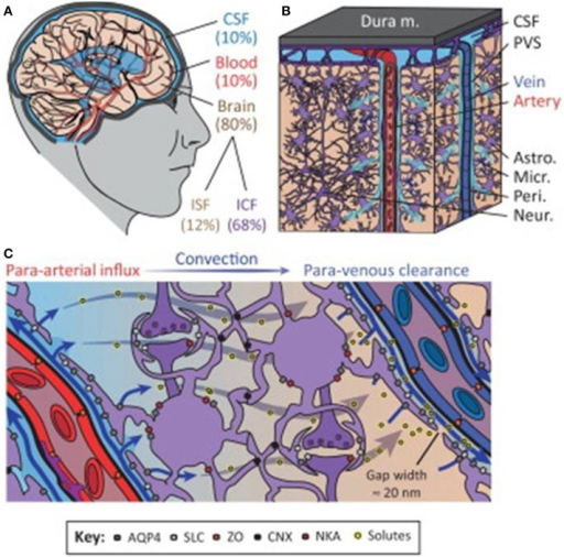 The glymphatic system regulates cerebrospinal fluid (CSF) and interstitial fluid (ISF) exchange in the brain. (A) Illustration of the main fluid compartments in the brain. (B) Diagram of fluid influx via penetrating arteries and efflux along a subset of large-caliber veins. (C) Diagram of proposed molecular mechanisms governing paravascular CSF–ISF exchange. Abbreviations: paravascular space, PVS; solute carrier, SLC; zonula occludens, ZO; connexin, CNX; Na+-K+-ATPase, NKA; intracellular fluid, ICF; aquaporin-4, AQP4. Reproduced with permission from Thrane et al. (2014).