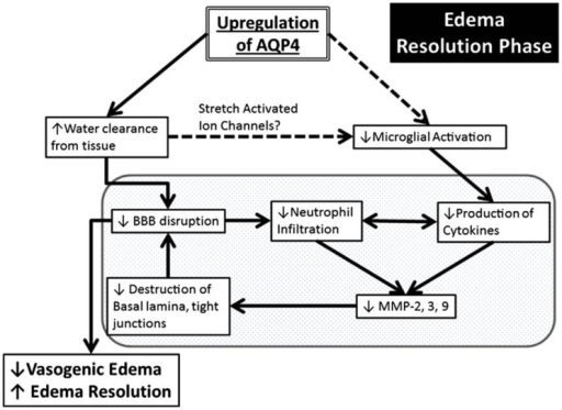Schematic summary of a beneficial role AQP4 upregulation plays during the edema resolution phase. The upregulation of AQP4 causes increased water clearance from the tissue, which in turn causes decreased BBB disruption because of decreased pressure, and there is less neutrophil infiltration and decreased pro inflammatory cytokines. This causes decreased MMP production (Candelario-Jalil et al., 2009) which possibly results in less destruction of the basal lamina and tight junctions and causes an even greater decrease of the BBB. In another pathway (dotted lines), the increased water clearance from the tissue and extracellular space causes changes in the osmotic pressure, changing the activation state of the stretch activated ion channels expressed in microglia (Lewis et al., 1993; Eder et al., 1998; Schlichter et al., 2011), causing less microglial activation, leading to decreased pro-inflammatory cytokine release. The resulting decrease in BBB disruption/permeability leads to decreased vasogenic edema or better edema resolution. Finally, this scheme outlines the potential link between AQP4, edema and neuroinflammation. Reproduced with permission from Fukuda and Badaut (2012).
