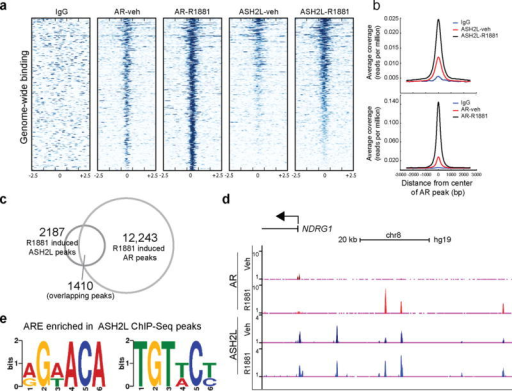 AR and ASH2L are recruited to the same genomic loci upon androgen stimulation. (a) A heat map representation of AR and ASH2L binding to promoter regions, 2.5kb flanking transcriptional start sites (TSS, indicated by 0) in vehicle and R1881 stimulated VCaP cells as assessed by ChIP-Sequencing. Gene promoters are rank-ordered by the level of AR enrichment at the TSS. (b) Average TSS-aligned profiles of AR and ASH2L occupancy for all annotated genes before and after vehicle or R1881 stimulation. (c) The overlap between R1881-induced AR and ASH2L peaks. (d) Representative gene (NDRG1) co-occupied by AR and ASH2L before and after AR stimulation. (e) De novo motif detection with MEME program identified enrichment of two half-androgen response elements (ARE) among ASH2L binding sites. (MEME E value 2.1e-025).