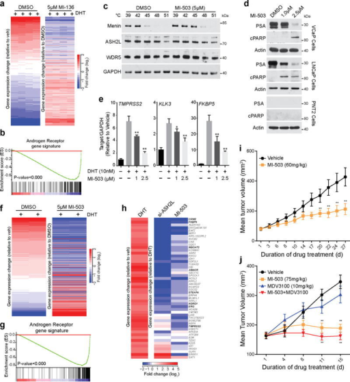 A Menin-MLL small molecule inhibitor impairs prostate cancer growth in mice. (a) Heat map representation of the impact of 5μM MI-136 treatment on DHT induced genes in VCaP cells as assessed by microarray. (b) GSEA was performed using an AR target gene signature (supplementary table S2). (c) VCaP cells were treated with 5μM MI-503 and incubated at indicated temperatures. Cells were lysed and soluble proteins were detected by immunoblotting. Shown are representative blots (n=2). (d) VCaP, LNCaP or PNT2 cells were treated with either DMSO or MI-503 for 48 hours and the effects on protein levels of PSA and cleaved PARP were determined by immunoblotting Shown are representative blots (n=3). (e) The effect on AR target gene expression (TMPRSS2, FKBP5, and KLK3) was quantified by qPCR in VCaP cells pre-treated with either DMSO or MI-503 and subsequently stimulated with 10nM DHT for 6 hours. *, P<0.01; **, P<0.001, compared with untreated by one-way ANOVA. (n = 3, mean ± s.e.m) (f) Heat map representation of the impact of 5μM MI-503 on DHT induced genes in VCaP cells was assessed by microarray. (g) GSEA was performed using an AR target gene signature (supplementary table S2). (h) Heat map representation demonstrates the effects on gene expression after ASH2L KD and MI-503 treatment. (i) Impact of MI-503 on growth of LNCaP-AR xenografts in castrated mice. LNCaP-AR xenografts were implanted in castrated mice. Once the tumors reach 80–100mm3, mice were treated daily with vehicle (n=20) or 60mg/kg MI-503 (n=18) intraperitoneally. (j) Impact of MI-503 on growth of castrate resistant VCaP xenografts. Castrate resistant VCaP tumors were generated as described in online methods. Once tumors reach 80–100mm3, mice were treated with vehicle (n=20), MI-503 (75mg/kg, n=16), MDV-3100 (10mg/kg, n=20) or combination (n=20). MI-503 was given intraperitoneally and MDV-3100 was given by oral route. Tumors are measured using caliper measurements taken bi-weekly. *, P<0.05; **, P<0.005. Compared to vehicle by a Student's t test.