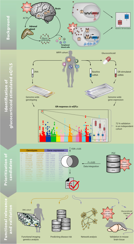 Summary Figure Illustrating the Sequence of Experiments and Analyses Applied in This StudyThe main hypothesis tested in this study is that common genetic variants that alter the short-term transcriptional response to GR activation also alter the risk for stress-related psychiatric disorders and related neural endophenotypes.