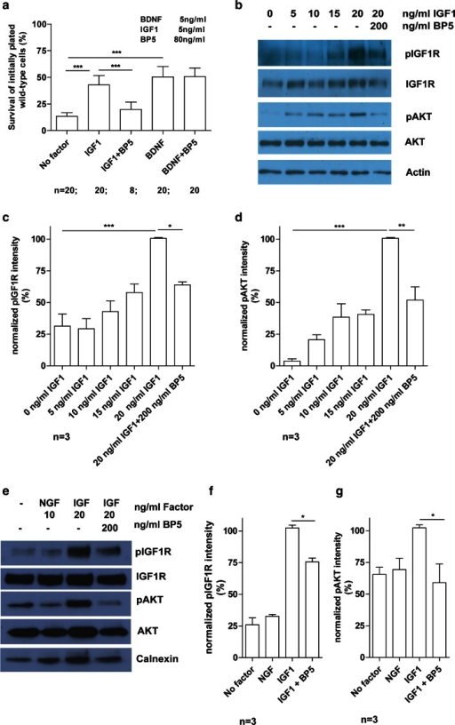 IGFBP5 decreases the survival promoting downstream effect of IGF1 on isolated wild-type motoneurons. a IGFBP5 (BP5) reduced IGF1-mediated survival effects from 43 to 20 % on wild-type motoneurons after 7 days in culture, while IGFBP5 did not inhibit BDNF-mediated survival. b Downstream activation of IGF1 signaling pathway in wild-type motoneurons after stimulation with different IGF1 concentrations. Wild-type motoneuron cell cultures were grown for 5 days with 5 ng/ml BDNF, starved overnight and pulsed for 20 min with indicated IGF1 concentrations. Western blot analyses revealed the strongest phosphorylation of IGF1R (b, c) and AKT (b, d) with 20 ng/ml IGF1. e Downstream activation of IGF1 signaling pathway in wild-type DRGs after stimulation with IGF1. Wild-type DRG cell cultures were grown for 20 h with 10 ng/ml NGF, starved for 4 h and pulsed for 20 min with indicated factors. Western blot analyses revealed the strongest phosphorylation of IGF1R (e, f) and AKT (e, g) with 20 ng/ml IGF1