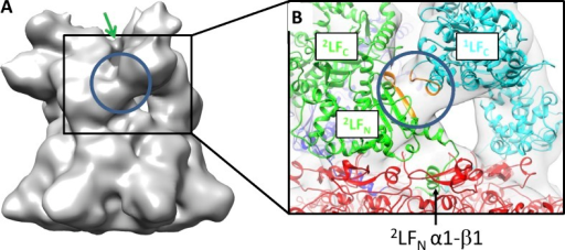 LF head to tail interactions in (PA63)7–(LF)3. (A) The C-terminal domain of LF (1LFC) establishes a large contact with the N-domain of the adjacent LF molecule (2LFN). This interaction (blue circle) is shown in the EM map displayed at two different contour levels (131,000 A3 and 112,000 A3 in A and B, respectively). Two adjacent LFC domains establish a minor interaction (marked by a green arrow) that is broken at the higher threshold (see B). A very similar interaction is observed between 2LFC and 3LFN. (B) Close-up with two atomic models of LF fit into the density. The top of the PA63 heptamer (shown in red) is just visible. The blue circle highlights the novel 1LFC–2LFN interaction with coloration in orange of segments 572–579 of 1LFC and 75–83 of 2LFN. This region is identical in our model for 2LFC–3LFN. The black arrow highlights the position of the α1–β1 segment of 2LFN, which has been modeled in the open conformation (similar to the conformation solved by x-ray crystallography for (PA63)8–(LFN)4 reported in Feld et al. [2010]) and is an identical position for 1LFN and 3LFN.