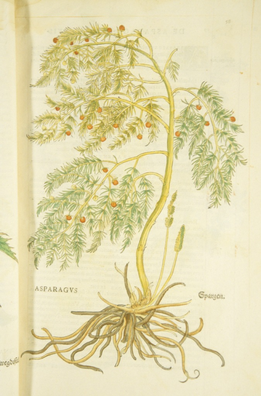 <p>Hand-colored woodcut of the asparagus plant, showing the stalks, leaves, and roots.</p>