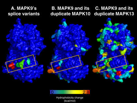 The 3-D Distribution of Physico–Chemical Changes in the Affected Residues of AS and GDThe example of mitogen-activated protein kinase 9 (MAPK9). The example of human MAPK9 illustrates how differences between AS and GD in the distribution of sequence changes result in different distributions of physico–chemical properties across the 3-D structure. The original structure of MAPK9 was homology-modelled after MAPK10 and is shown in blue; the residue changes are indicated following a colour scale related to the associated difference in hydrophobicity (we use the absolute value of the difference in order to avoid too many colours; the colour scale goes from blue to red, where the latter corresponds to the largest change). For comparison purposes, the location of the AS changes in the three structures is indicated by a yellow box. As a hydrophobicity measure, we used the free energy of water to octanol transfer [77].(A) Alternative splice isoforms of MAPK9.(B) Gene duplicates of high seq.id. (MAPK10; isoform alpha2, 84% seq.id. to MAPK9).(C) Gene duplicates of medium seq.id. (MAPK13; 46% seq.id. to MAPK9).We observe, in accordance with the results from the sequence analysis, that while AS changes are located at a very specific location, GD changes are spread all over the protein surface. As expected, the number of changes between MAPK9 and MAPK13 is the largest. Neither one of MAPK9′s paralogues (MAPK10 and MAPK13) shows a set of residue changes identical to that in the alternative splice variant.