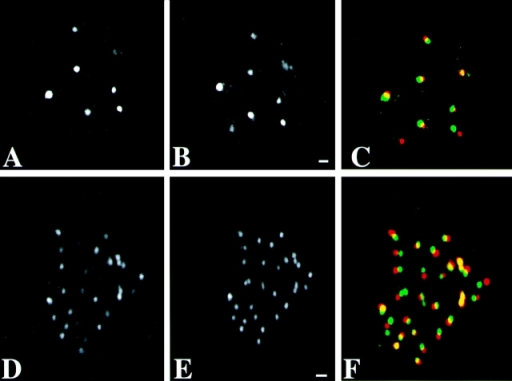 Preservation of the spatial distribution of centromeres and PML bodies in human primary fibroblasts during the FISH procedure. The spatial distribution of PML bodies and of centromeres were analyzed before and after the FISH procedure in the same nucleus. A, B, and C, Corresponding individual optical sections of the same nucleus labeled with anti-PML antibody are shown in A (before the FISH procedure) and B (after FISH). C shows an overlay of A (red) and B (green). Bar, 0.84 μm. D, E, and F, Corresponding individual optical sections of the same nucleus labeled with anticentromere antibody. D, Before FISH procedure. E, After FISH procedure. F shows an overlay of D (red) and E (green). The FISH procedure results in only small changes in the distribution of PML bodies and centromeres. These changes are in part due to a slight tilting of the nuclei during FISH labeling. Bar, 0.84 μm.