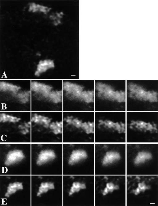 Chromosome territories have a distinct substructure. X chromosome territories in nuclei of female primary fibroblasts were labeled by FISH, using a chromosome-specific DNA probe library. A, Single optical section through the center of a nucleus showing two labeled X chromosome territories. The image has undergone 3-D image restoration. Bar, 2.1 μm. C and E, Five consecutive optical sections (step size along z-axis is 0.2 μm) showing structural details of the two territories visible in A. The images shown have been subjected to 3-D image restoration. Territories show strongly labeled chromosomal subdomains surrounded by less intensely labeled areas. Intensely labeled chromosomal subdomains have a diameter in the range of 300–450 nm. In several cases, subchromosomal domains appear interconnected, forming thread-like structures (also see Fig. 4). Bar, 4.2 μm. B and D, Same optical sections as in C and E, respectively. Shown are unprocessed, crude images that have not undergone 3-D image restoration. Structural details that are enhanced after 3-D image restoration are visible in the unprocessed optical sections. Bar, 4.2 μm.