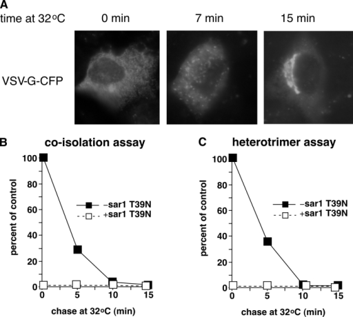 Preexisting pre-Golgi intermediates do not tether and fuse with COPII vesicles released from permeabilized cells. (A) NRK cells were transfected with VSV-G-CFP and incubated at 40°C. Cells were incubated for the indicated times at 32°C before fixation and fluorescence microscopy. (B and C) Two-stage coisolation or heterotrimer assays were conducted using the usual VSV-G-myc vesicles together with VSV-G* vesicles from cells that had been preincubated at 32°C for the indicated times before permeabilization. The first-stage incubation of the chased cells was conducted with or without sar1 T39N. To differentiate the potential involvement of preexisting VTCs from a role for COPI vesicles as defined in Fig. 3, these assays were conducted under COPI-free conditions.