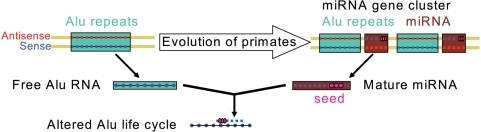 Model for dual relationship between Alu elements and miRNAs in the C19MC cluster.During the phase of rapid extension of Alu copy number, a miRNA containing cassette was duplicated from which the mature miRNA targets free (duplicating) Alu RNA. As the number of duplicated miRNA genes in the cluster grew, growth rates of Alu declined, preventing catastrophic destruction of germline genome information by Alu.