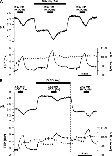 Effect of apical bath CO2 on basolateral membrane Na/nHCO3 cotransporter. Low HCO3 (2.62 mM) Ringer was perfused into the basal bath to record the initial control response, and this maneuver was repeated in (A) 13% or (B) 1% apical bath CO2. After returning to control Ringer, low basal bath [HCO3]-induced control response was obtained. Solid bars above the graphs represent solution changes from control Ringer as described in the legend to Fig. 2.