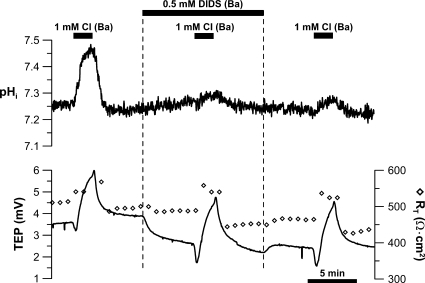 DIDS sensitivity of basolateral membrane Cl/HCO3 exchanger. Low (1 mM) Cl Ringer was perfused into the apical bath to record the initial control response. This maneuver was repeated in the presence of 0.5 mM of apical DIDS. After DIDS washout, the low basal bath [Cl]-induced control response was obtained. Solid bars above the graphs represent solution changes from control Ringer as described in the legend to Fig. 2.