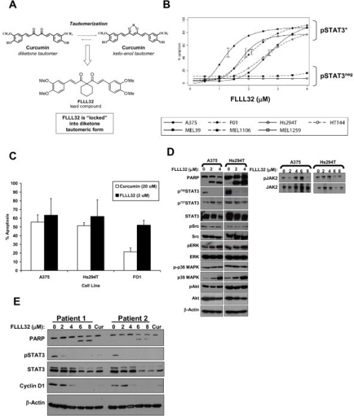 The FLLL32 curcumin analog induced apoptosis in human melanoma cells. (A) The molecular structure of curcumin indicates that the molecule exists in two distinct tautomeric forms: 1) a diketone form and 2) a keto-enol form. FLLL32 was designed as a novel structural analog of curcumin that approximates a modified version of the molecule when locked into the keto-form. (B) Annexin V/PI staining of human metastatic melanoma cells following a 48 hour treatment with FLLL32. Error bars show 95% prediction limits based on the model fit at the estimated IC50 from two or more independent experiments. The non-responsive 1106 MEL and 1259 MEL cell lines were pSTAT3-negative. (C) Annexin V/PI staining of representative pSTAT3+ melanoma cells treated with either 20 μM curcumin or 2 μM FLLL32. Data are presented as the mean percentage of apoptotic cells. Error bars represent the standard deviation from at least two individual experiments. (D) Immunoblot analysis (left panel) or immunoprecipitation for total Jak2 protein (right panel; blot with Jak2 or pJak2 antibodies) of pSTAT3-positive A375 and Hs294T cells following 24 hour treatment. (E) FLLL32 treatment reduced pSTAT3, the STAT3-regulated gene, cyclin D1 and induced apoptosis in primary human cells derived from recurrent cutaneous melanoma tumors. These primary melanoma cell cultures have been previously described by our group [17]. Cells were treated for 48 hours with the indicated concentrations of FLLL32 or curcumin (20 mM) as a biologic control and analyzed by immunoblot. Membranes were probed with β actin as a loading control and all blots represent data from at least two independent experiments.