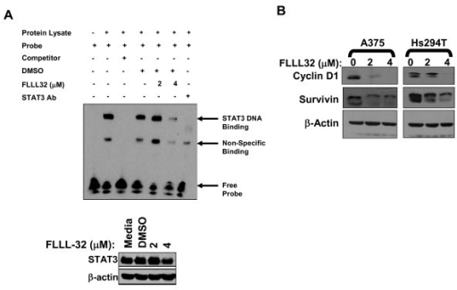 FLLL32 reduced STAT3 DNA binding and gene expression. (A) STAT3 DNA binding was measured in A375 cells following a 16 hour treatment with FLLL32 (2 μM or 4 μM) as described in the Methods section. Unlabeled target DNA were included to compete for binding as indicated, and a STAT3 specific Ab was used to were included confirm specificity (last lane). Cell lysates were evaluated concurrently by immunoblot to control for total level of STAT3 protein at the 16 hour time point. (B) FLLL32 reduced STAT3-regulated gene expression. Expression of STAT3-regulated genes cyclin D1 and survivin were evaluated following a 24 hour treatment with FLLL32 in melanoma cell lines. Membranes were probed with β actin as a loading control and all blots represent data from at least two independent experiments.
