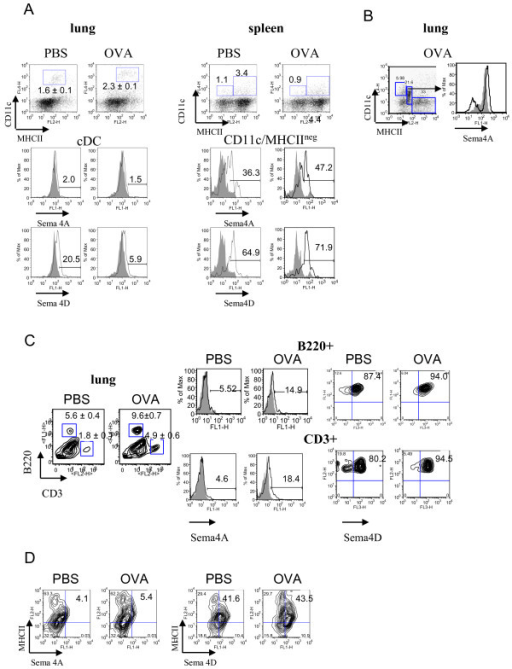 Regulation of Sema4A and Sema4D expression on lung immune cells by allergen and VEGF. Flow cytometric detection of Sema4A and Sema4D expression on lung and spleen DC (A-B), lung T and B cells (C), and MHCII+ cells (D). Single cell suspensions were prepared as described in Methods. Conventional DC were identified by staining cells with anti-CD11c, -MHCII, and -CD11b Abs used for lung cDC detection. Highly fluorescent macrophages were gated out from the further analysis as large cells on FSC-SSC. (A) No cell surface Sema4A and low Sema4D expression was found on lung cDC. Spleen CD11c+MHCIIneg DC subset demonstrated high Sema4A and Sema4D expression which was further upregulated by allergen. (B) Intracellular Sema4A was targeted to a specific population of CD11cintermed/MHCIIlow cells under inflammatory conditions. (C-D) Low Sema4A and high Sema4D expression was detected on lung B220+ cells, CD3+ cells, and MHCII+ cells.