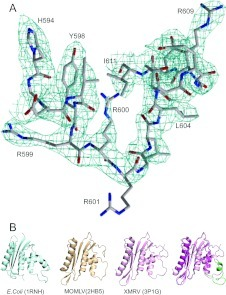 Basic protrusion motif(A) Electron density map. The 2Fo–Fc map of XMRV RNase H was contoured at the 1σ level around the basic protrusion (residues 594–611) and was superposed with the refined model. (B) Comparison of our model of the basic protrusion of RNase H (right panel) with that in E. coli, MoMLV and XMRV. All ribbon diagrams are shown from the same point of view. Our model (basic protrusion in green and the remainder in magenta) was superposed with that of XMRV with a truncated basic protrusion (pink; PDB code 3P1G).