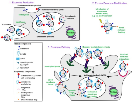 Conceptual overview of exosome-based therapeutics: (1) Exosome biogenesis. Exosomes incorporate membrane components from the plasma and endosomal membranes, cytoplasmic proteins and RNA. Plasma membrane proteins reach exosomes via endocytosis into the endosomes followed by invagination of the endosomal membrane to form intraluminal vesicles (intracellular precursors of exosomes). An endosome containing many such intraluminal vesicles is termed a multivesicular body. Upon invagination of the endosomal membrane, endosomal membrane proteins also get incorporated into intraluminal vesicles. During invagination, cytoplasmic contents including RNA and proteins are engulfed into the lumen of the intraluminal vesicles. Upon backfusion of the multivesicular body with the plasma membrane, intraluminal vesicles are released into the extracellular space and are then termed exosomes. (2) Ex vivo modification of exosomes. Nucleic acids can be introduced to the exosome lumen via electroporation, and lipophilic small molecules can be passively loaded. (3) Exosome delivery. Exosomes are internalized by recipient cells via macropinocytosis, receptor-mediated endocytosis, or lipid raft-mediated endocytosis, each of which results in exosomes being taken up into endosomes. Exosomal contents are then released into the cytoplasm via backfusion with the endosomal membrane. Alternatively, exosomes can fuse directly with the recipient cell plasma membrane to release exosomal contents into the cytoplasm. Mechanisms of internalization utilized depend on the ligands displayed on the exosome surface, the cell type from which the exosomes are derived, and the recipient cell type.
