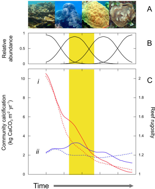 Shifts in coral assemblages result in rapid losses in coral-community calcification and reef rugosity.Changes in community calcification and reef structure in shifting coral assemblages of four genera ((A); left to right Acropora, Orbicella, Porites, Agaricia). (B) Relative abundances over time. (C) Community calcification (continuous lines) and reef rugosity (dotted lines) in two hypothetical scenarios: (i) steady coral cover decline from 45% to 10% (red lines) and (ii) gradual coral cover increase from 10% to 45% (blue lines). Yellow band represents the current state of many Caribbean reefs. Pictures in the figure where taken by R. I.-P. and H. Bahena-Basave.