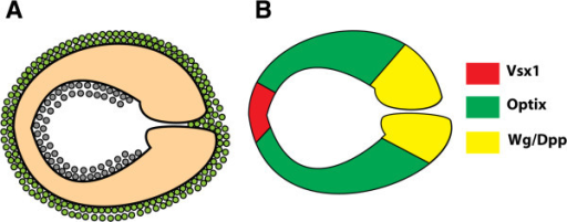 Model for regional neuroepithelial compartments in the optic lobe. (A) Lateral view of the outer proliferation centre (OPC) neuroepithelium (orange), which generates both medulla neuroblasts (green) and lamina precursor cells (grey). (B) The same lateral view of the neuroepithelium, colour coded by the regionalised expression of transcription factors and signalling pathways. Vsx1 (red) is expressed in a central neuroepithelial domain; Optix (green) is expressed in a symmetrical domain on either side. Wingless signalling is active at the tips of the OPC, and activates the Dpp pathway in turn [48].