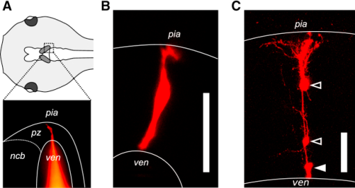 Lineage Tracing of Individual Tectal Progenitor Cells(A) Schematic dorsal view of a tadpole's head (top) illustrating the positions of the two optic tecta (shaded); epifluorescence image (bottom) showing the electroporation of a single tectal progenitor cell with a fluorescently conjugated dextran (red). Region corresponds to dashed box above. ven, ventricle; pz, proliferative zone; ncb, neuronal cell bodies.(B) Two-photon image showing a single tectal progenitor cell captured 2 hr postelectroporation. The scale bar represents 50 μm.(C) Image of a tectal clone consisting of one radial progenitor cell (solid arrowhead) and two daughter neurons (open arrowheads), collected 10 days postelectroporation. The scale bar represents 50 μm.
