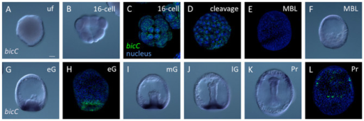 The expression pattern of bicC during sea urchin embryogenesis.Maternal bicC mRNA was detected at the unfertilized egg (A), 16-cell (B, C) and cleavage stages (D). Fluorescent in situ hybridization with DAPI staining was performed on a 16-cell embryo (C), cleavage stage (D), mesenchyme blastula (MBL; E), and early gastrula (eG; H). The signal was missing in MBL (E, F). bicC was expressed at the vegetal plate of eG (G, H), mid-gastrula (mG; I) and late gastrula (lG; J). In prism larva, bicC was expressed at the ciliary band and the tip of gut (K, L). The bar in (A) is 20 μm.