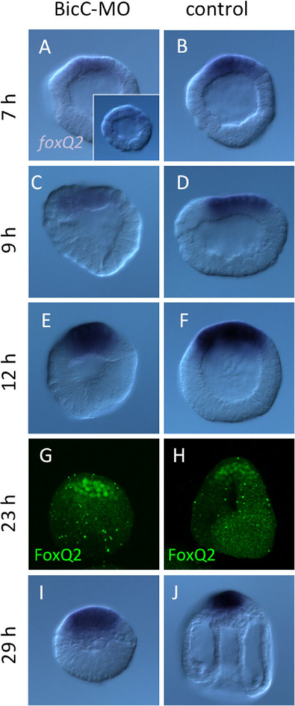 foxQ2 expression is spatially invariant without BicC.foxQ2 expression in BicC morphants (A, C, E, I) and glycerol-injected control embryos (B, D, F, J). The signals were detected at 7 hours (h; A, B), 9 h (C, D), 12 h (E, F), and 29 h (I, J). FoxQ2 protein was also detected in the BicC morphant (G) and in control (H) at 23 h. The inset of (A) shows a morphant injected with BicC-MO2 to confirm the specificity of the morpholinos. The expression of foxQ2 was weaker than that of the BicC-MO1 injected embryo, but the spatial pattern was invariant.