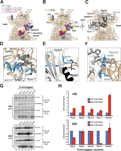 Ribosomal protein rRNA binding sites are highly flexible in early and middle pre-40S complexes. (A and B) Nucleotides in the head domain reactive to SHAPE chemicals (A) cluster near assembly factor UV cross-linking sites (B). (C–F) SHAPE-modified nucleotides (blue) in the head domain coincide with Rps3, Rps15, Rps17 and Rps20 binding sites. Relevant nucleotide positions are indicated. Green dots highlight the 2′-OH. (G and H) Ribosomal proteins Rps3 and Rps17 form salt-labile interactions with pre-40S complexes. Immunoprecipitations were performed using strains expressing FLAG-tagged r-proteins (indicated above the panels). Co-precipitated 20S was detected by northern hybridization with oligo 004, 18S rRNA was detected by ethidium bromide staining (EtBr). Input indicates 1% of total RNA extracted from cell lysates. (H) Quantification of results shown in (G). Error bars indicate standard deviations obtained from two biological replicates.