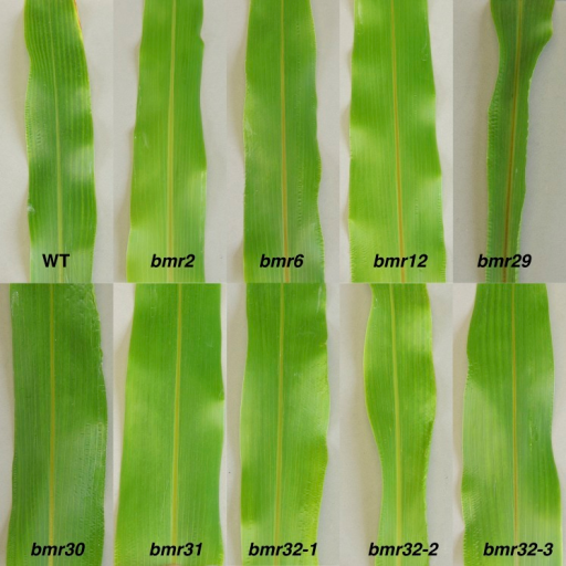 The leaf midrib phenotype of the wild-type BTx623T (WT), B OK11 bmr2, BTx623 bmr6, BTx623 bmr12, bmr29, bmr30, bmr31, bmr32-1, bmr32-2, and bmr32-3. The sixth leaf was photographed from 6-wk-old plants.