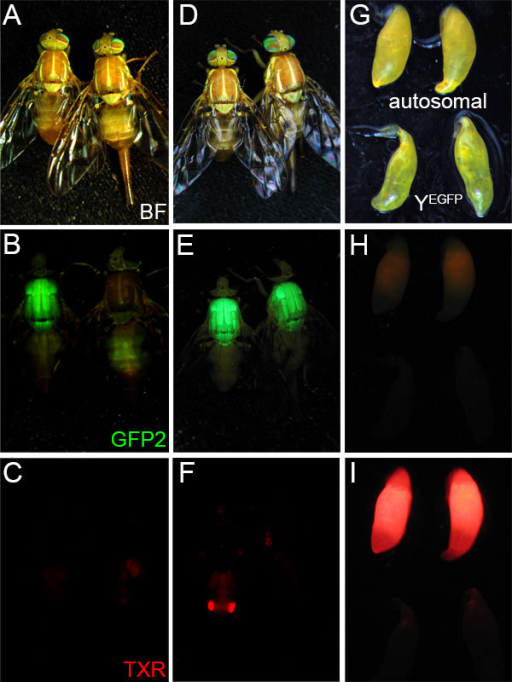 Y-linked and autosomal fluorescent marker expression in A. ludens transformed with pBXL{PUbnlsEGFP, Asβ2tub-DsRed.T3}. The brightfield (BF; A, D, G) and epifluorescent EGFP (GFP2; B, E, H), and DsRed (TXR; C, F, I) phenotypes of: a YEGFP male (left) and female (right) shown in panels A, B, and C; an autosomal insertion (unmapped) strain male (left) and female (right) shown in panels D, E, and F; and testes from a YEGFP and autosomal insertion strain male shown in panels G, H, and I. See Methods for details on epifluorescent microscopy and filter sets.