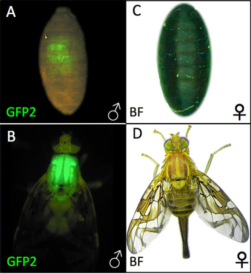 Phenotypes of T(YEGFP/bp+) pupal and adult males and females. A. ludens T(YEGFP/bp+) male bp+ brown pupa (A) and male adult (B) under epifluorescent GFP optics, and a female bp- black pupa (C) and female adult (D) under brightfield optics. All T(YEGFP/bp+) males express the wild type brown pupal and EGFP phenotype, while all females express the mutant black pupal phenotype and lack EGFP fluorescence (not shown).