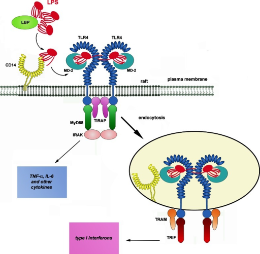 Activation of TLR4 by LPS. LBP...