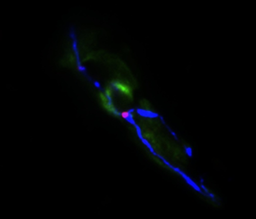 LSR (red) is enriched at the tight junctions formed between three neighboring brain endothelial cells (green), whereas occludin (blue) localizes to bicellular junctions.