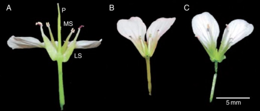 Variation in floral morphology in Cardamine amara flowers 2 d after anthesis. (A) Hermaphrodite from WP with typical floral ground plan. (B) Female-sterile flower from WP demonstrating reduced medial stamen length. (C) Female-sterile flower from KTP. P, pistil; MS, medial stamen; LS, lateral stamen. To aid visibility, two petals, two sepals and two medial stamen have been removed.